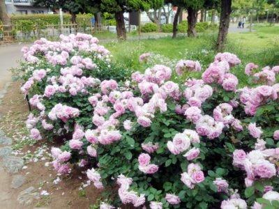 ピンクの薔薇がいっぱい
